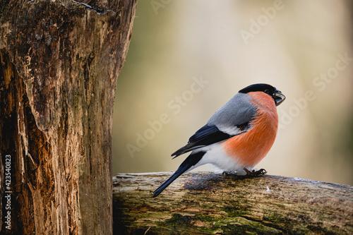 Canvastavla Bird chaffinch hawfinch bullfinch tree branch winter wildlife nature songbird