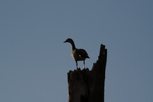 An Egyptian Goose Sitting On A Dead Tree, Alopochen Aegyptiaca