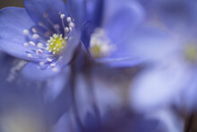 Un Bel Gruppo Di Fiori Primaverili, I Primi Anemoni Con Il Loro Colore Blu Viola Fanno La Loro Comparsa Nei Prati In Primavera, Dettagli Di Anemoni