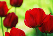 Red tulips in fresh green bed.