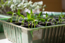 Small Seedlings On A Light Background Grow In A Growing Tray. Concept - Seedlings Of Gardeners.