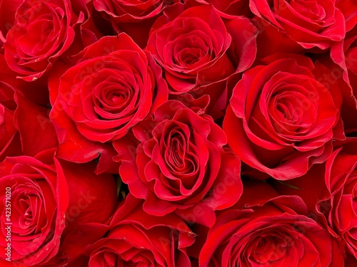 red roses background #423571020