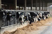 Cows In A Farm Feeding Time