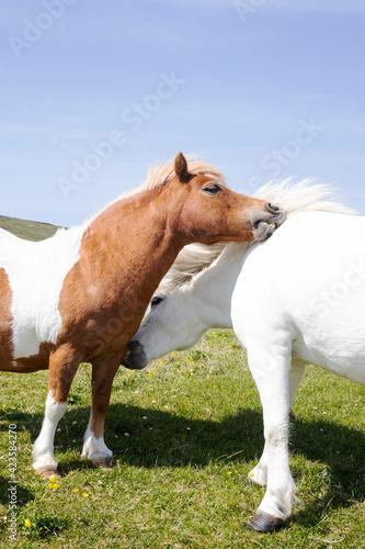 Two Shetland ponies rubbing each others necks. Wallpaper Mural