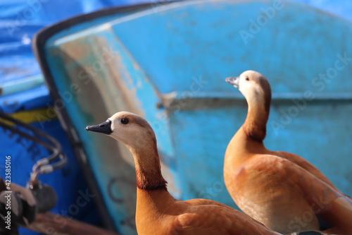 Fotografija Wild ducks near the lake