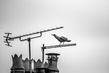 Seagull On A Roof Chimney In Black And White