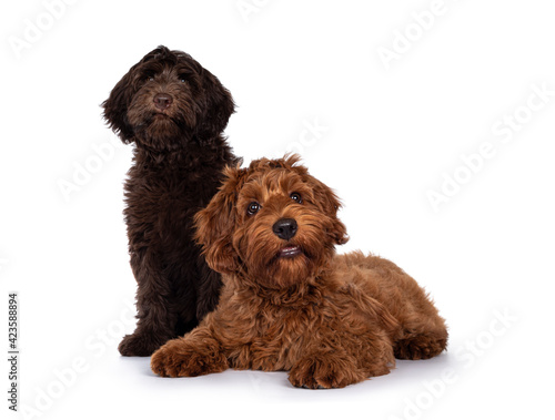 Red and chocolate Cobberdog aka Labradoodle pups, sitting and laying down together Fototapete