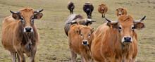 Panoramique Front De Vaches Aubrac Du Massif Central, Département Du Puy-de-Dôme En Région Auvergne-Rhône-Alpes, France