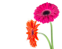 Two Gerbera Daisy Flowers Isolated On A White Background. Bouquet Of Two Beautiful Gerbera Flowers.