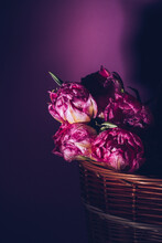 Pink Tulips With Water Drops On A Pink Background In A Wicker Basket. Spring. Close Plan