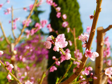 Photo Of Pink Blossom Peach Flowers In Spring