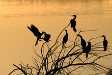 Neotropic Cormorants Silhouetted Against Sunset Reflections On A Pond.