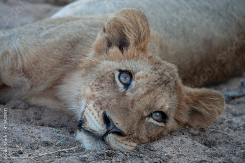 Fotografia A Lion cub seen on a safari in South Africa