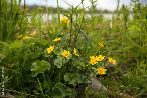 Fototapeta Wiosenne kaczeńce wśród zielonej trawy na brzegu Wisły u jej ujścia obraz