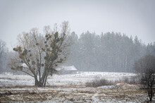 Winter Village Landscape. Tree In The Field, Sheds, And Forest.