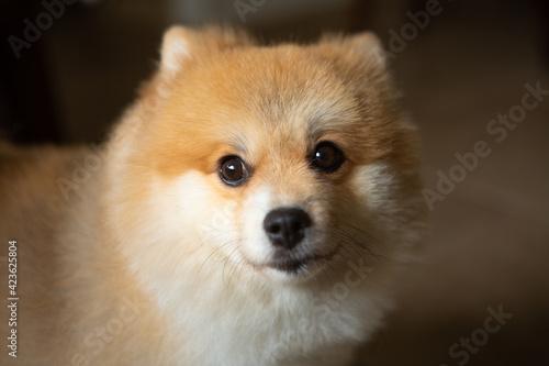 Fotografie, Obraz Portrait of a honey-colored German Spitz, companion dog