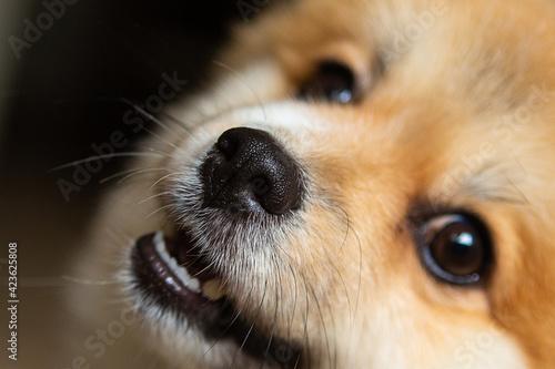 Obraz na plátně Portrait of a honey-colored German Spitz, companion dog, Pomeranian