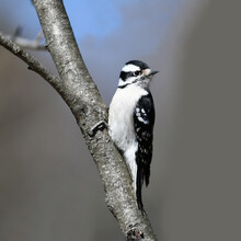 Downy Woodpecker Searching Pest On The Tree Trunk