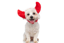 Happy Bichon Dog Sticking Out Tongue, Wearing Devil Horns