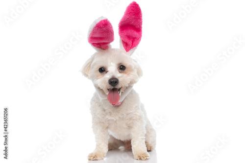 Billede på lærred small bichon dog wearing pink bunny ears