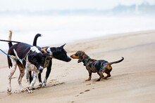 Photo Of Dachshund Puppy Knowns As Badger Dog Walking By Sand Beach. Funny Dog Run Along Sea Surf. Actions, Training Games With Family Pets And Popular Dog Breeds On Summer Vacation