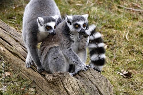 Fototapeta premium Two female Ring-tailed Lemurs, Lemur catta, sitting on a large trunk