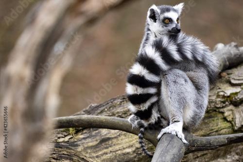 Fototapeta premium Female Ring-tailed Lemur, Lemur catta, with a small cub peeking out of its tail