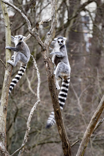 Fototapeta premium Female Ring-tailed Lemur, Lemur catta, climbing a tall branch