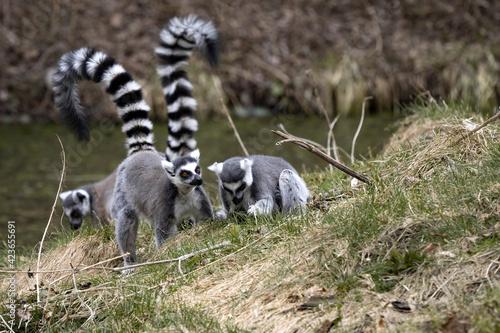 Fototapeta premium Three female Ring-tailed Lemurs, Lemur catta, feed on grass