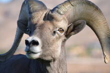 Male Big Horn Sheep In Boulder City, Nevada