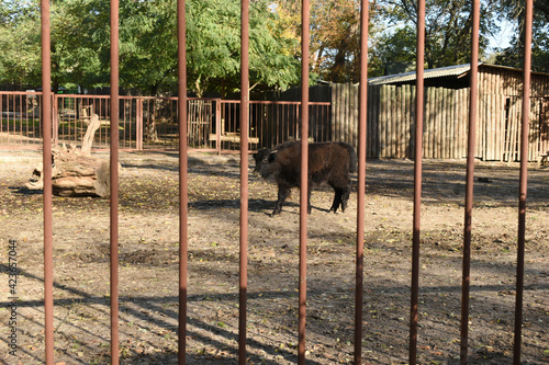 Through the bars of the lattice, a bison calf is visible, which is looking for food on the ground Tapéta, Fotótapéta