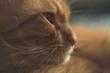 Portret rudego kota, uważny pogląd, makro zbliżenie