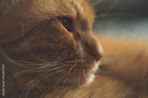 Obraz Portret rudego kota, uważny pogląd, makro zbliżenie - fototapety do salonu