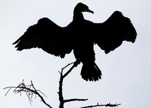 Silhouette Of Great Cormorant On The Tree