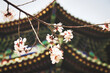 canvas print picture - Frühlingsblüte in China vor typisch chinesischem Gebäude