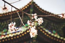Frühlingsblüte In China Vor Typisch Chinesischem Gebäude