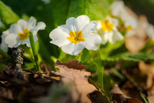Primrose Forest Bloomed In The Spring. A Beautiful Soft Yellow Flower Close-up In The Bright Rays Of The Sun. Macro Of Wild Forest Flowers. Natural Green Background. The Concept Of Early Spring.