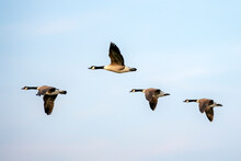 Canada Goose (Branta Canadensis)  In Flight. Gelderland In The Netherlands.
