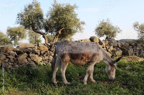 Tablou Canvas burro pastando por el prado al atardecer