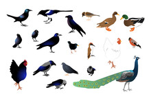 Set Of Different Wild Birds. Isolated On White Background. Stock Vector Illustration.