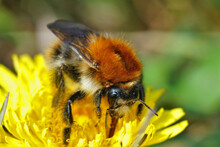 Closeup Of A Queen Common Carder Bee, Bombus Pascuorum On A Yellow Dandelion Flower, Taraxacum Officinale