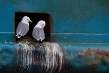 Kittiwake Birds Nesting In A Ship Hole