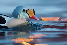 King Eider Duck And Reflection In Water