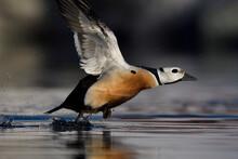Steller's Eider Duck Take Off