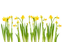Spring Floral Background. Yellow Mini Narcissus Or Daffodil Flowers Isolated On White Background. Card With Flowers. Place For Text