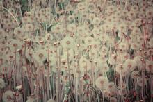 Flower Field. Dandelions. Flowery Meadow. Retro Filter Effect