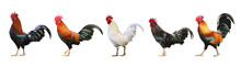 Set Of Colorful  Free Range Male Rooster Isolated On White Background