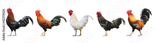 Stampa su Tela Set of colorful  free range male rooster isolated on white background