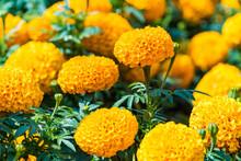 Beautiful Orange Marigold Flowers Blooming In The Garden.