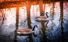 Two Geese Swimming In The Pond. Abstract Water Reflections Of The Bare Tree Trunks And Swirling Waves. Sunset Over The Animal Sanctuary Pond.
